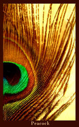 Peacock Feather by louisekc