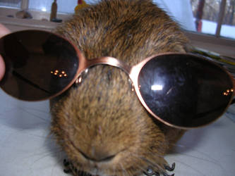 My Guinea Pig with SUN GLASSES by Sonic-Speed550