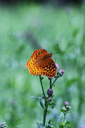 Great Spangled Fritillary2 by DeviantLadyAshley