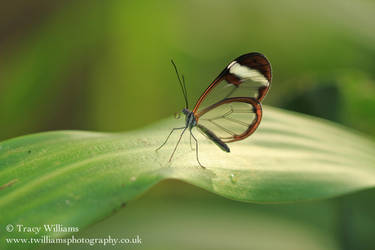 Glass Wing Butterfly by twilliamsphotography
