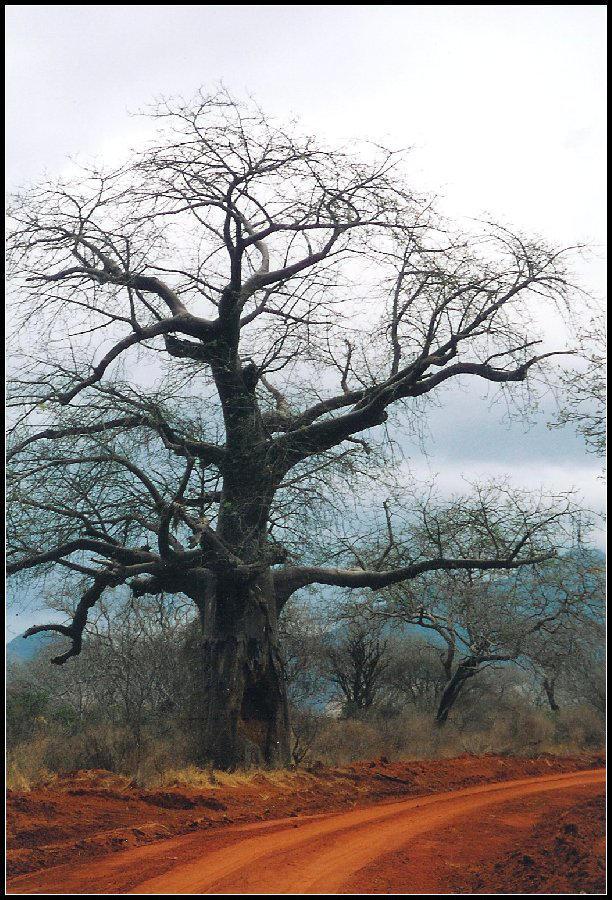 Safari - Baobab by rubi28