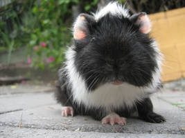 My Guinea Pig by rhinestoner