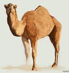 Camel by Tom-Cii