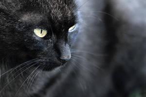 bad cat by wolf-minori