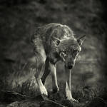 The prowl by wolf-minori