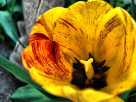 Bleeding Tulip by MeaninglessThoughts
