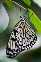 butterfly 12 by GerbenT