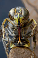 wasp 12 by GerbenT