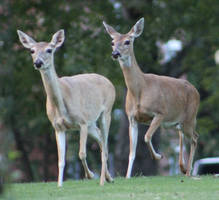Whitetail Deer 15 by MountainViewStock