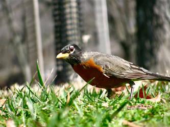 Little Robin by Dracken18