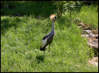 The Crowned Crane by privatemeta