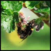 Bumblebee by Nameda