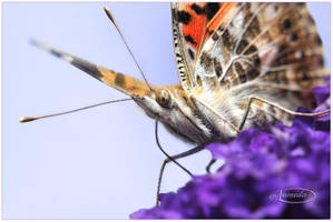 Painted Lady on heliotrope by Nameda
