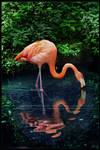 American beauty or Carribean flamingo by Nameda