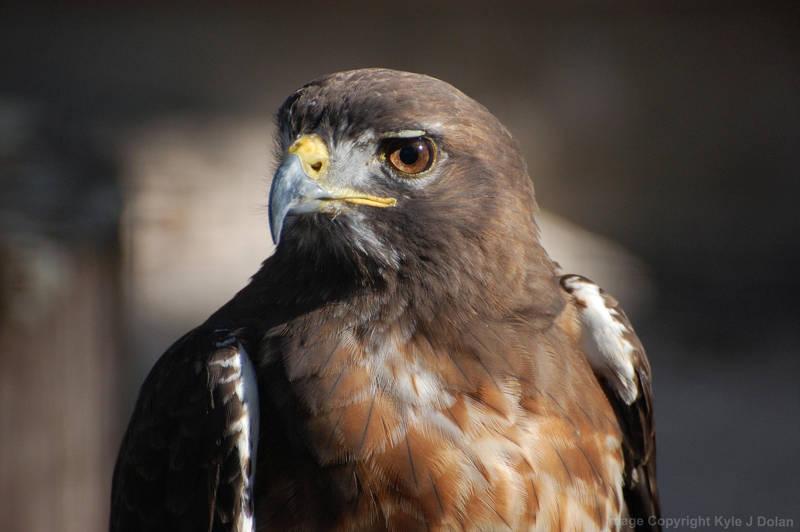 Hawk up Closer by Focus-Fire