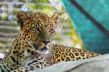 Leopard by Focus-Fire