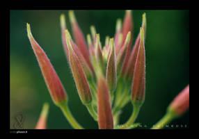 Evening Primrose by xeophin-net