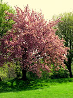 Pink blossom by ireene91
