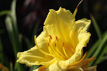 Day Lilly by BrianHanson2nd