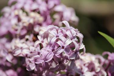 Purple Flowering Bush by BrianHanson2nd