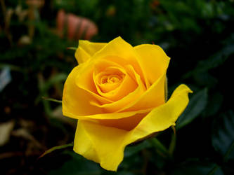 Yellow Rose by alarie-tano