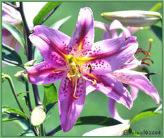Lillys 2 by Gooiool