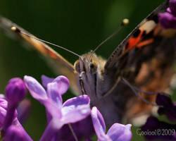 butterfly by Gooiool