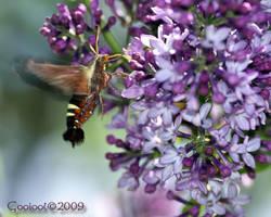hummingbird moth by Gooiool