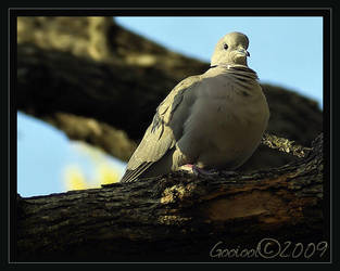 Dove. by Gooiool