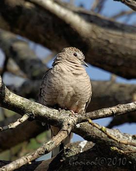 Wild dove by Gooiool