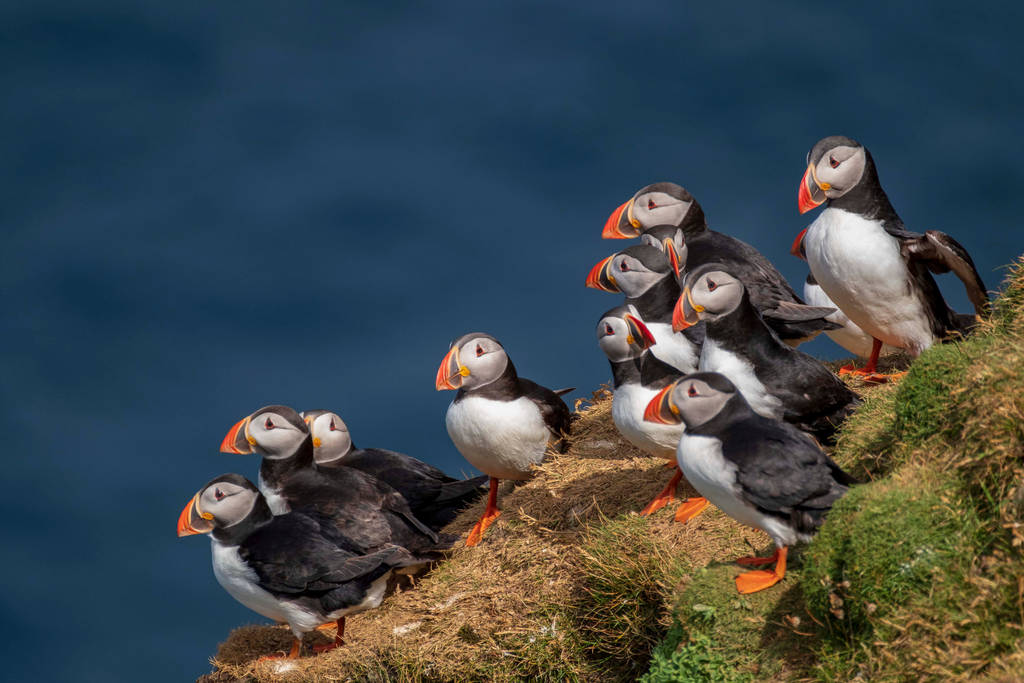 Puffins,Hermaness,Shetland. by gsphoto