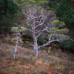 Scots Pine. by gsphoto