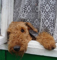Airedale 20 by AnnLoz