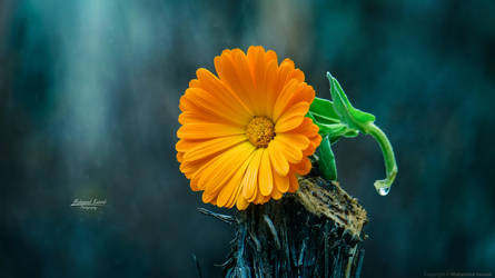 Flower live in peace by MohannadKassab