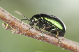 Green Dock Beetle by MohannadKassab