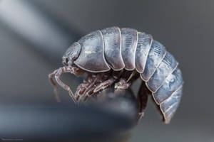 Pill Bug by MohannadKassab