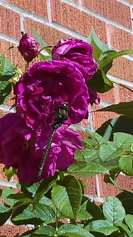 break on the rose by YersaCaltara