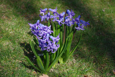 Hyacinths in bloom by zaneta333