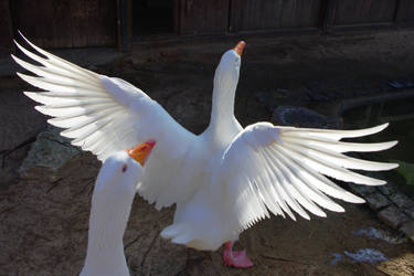 A white goose spreading its wings by zaneta333