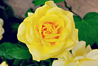 Yellow rose by zaneta333