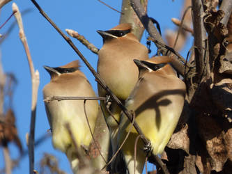 Three Cedar Waxwings by Geotripper