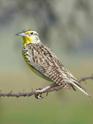 Western Meadowlark in Sierra Foothills by Geotripper