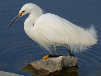 Snowy Egret 2 by Geotripper