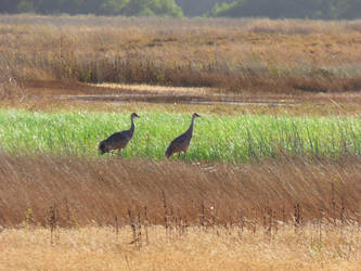 Sandhill Cranes at Merced NWR by Geotripper