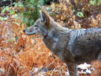 Coyote in Yosemite Valley by Geotripper