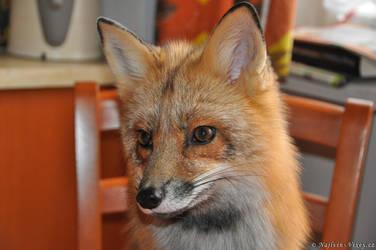 My beautiful fox by Najlvin