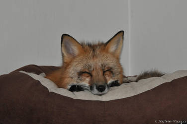 Sleeping vixen by Najlvin