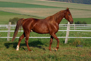 American Saddlebred Stock 25 by LuDa-Stock