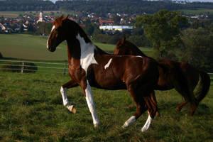American Saddlebred Stock 51 by LuDa-Stock