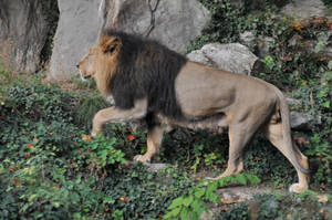 Lion King Stock by LuDa-Stock